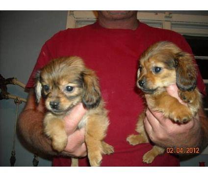 Bichon Frise Pekingese Mix Woof Pekingese Animals Puppies