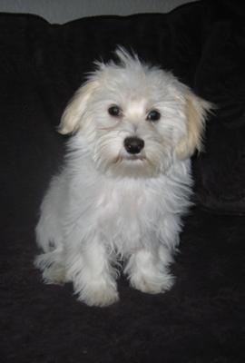 Dachshund Maltese Mix Puppies Puppy Dog Eyes Puppies Dogs
