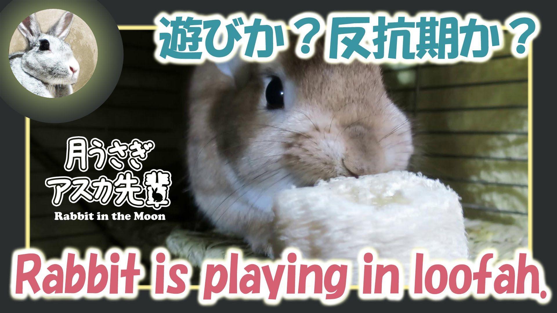 遊びか?反抗期か?【ウサギのだいだい 】 Rabbit is playing in loofah. 2016年2月9日