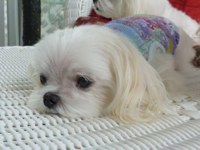 So Sweet Malteser Malteser Hund Hunde