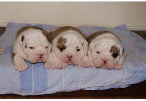 Pin By Emily Smith On English Bulldogs Bulldog Puppies Cute