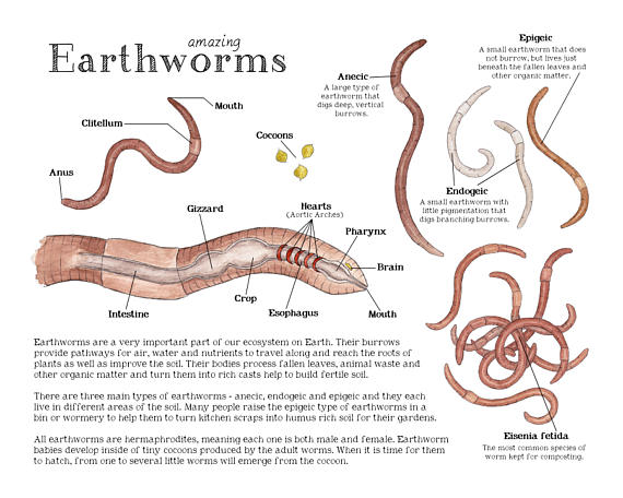 Earthworm Science Printable Educational Art 8 5 X 11 And A4
