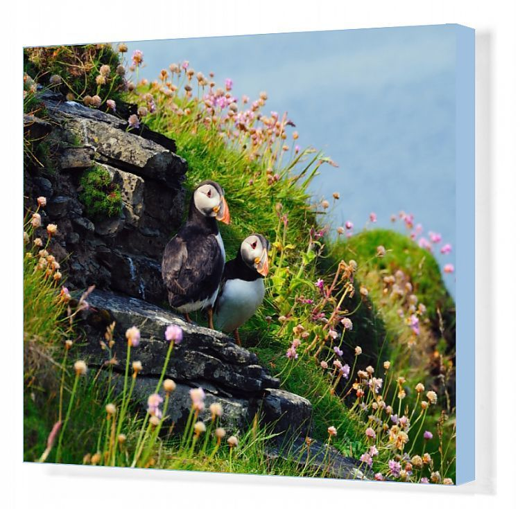 Canvas Print-Two puffins, Westray, Orkney Islands, Scotland, United Kingdom, Europe-20x16 inch Box Canvas Print made in the UK