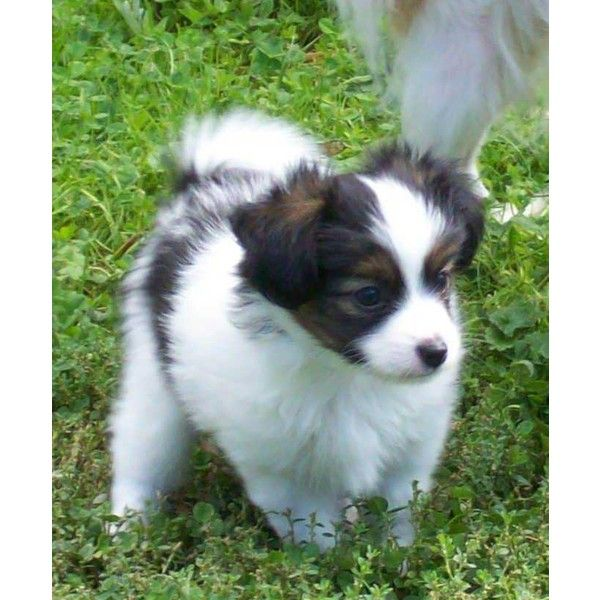 Akc Ch Blood Lines Papillon Puppies Liked On Polyvore Featuring