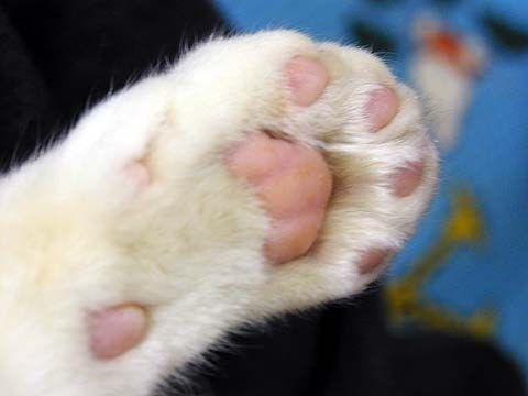 Cat Paw Awwwdorably Cute Cat Facts Cats Cat Paws