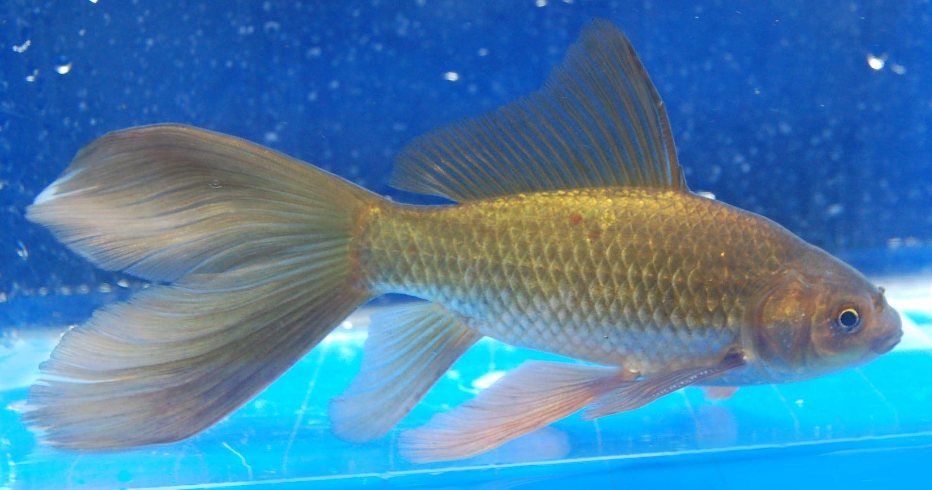 Goldfish Bristol Tailed Comet Comet Goldfish Goldfish Fish Pet