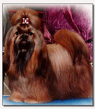 Shih Tzu Champion Int Ch Pien Ji S Red Fred Cgc Dog Bows Shih