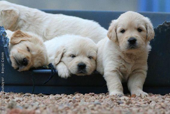 Golden Retriever Golden Retriever Pet Dogs Puppies Purebred Dogs