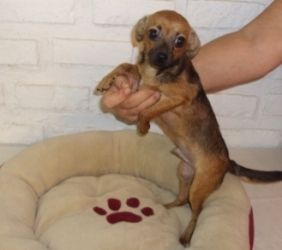 Adopt Little Chiweenie Boy 4 Lbs On Pet Birds Chihuahua Dogs
