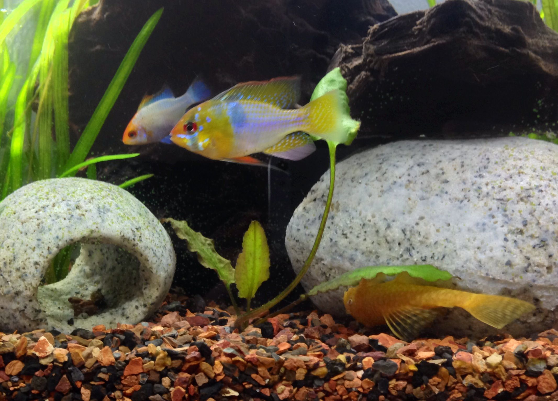 Male German Blue Ram Clyde And Mated Partner Female Powder Blue Ram Zeus Originally Thought She Was A He Lol As Well Beautiful Fish Fish Pet Fish Tank