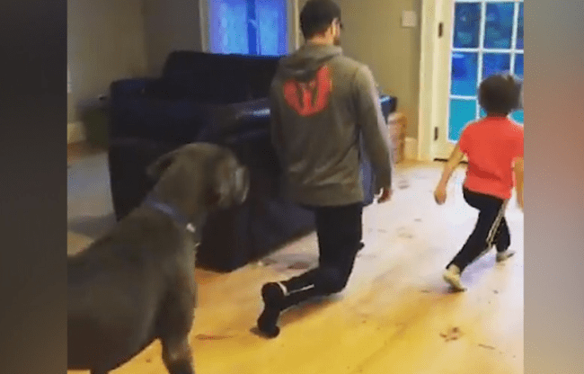 Great Dane Does Lunges With His Human Great Dane Puppy Dogs