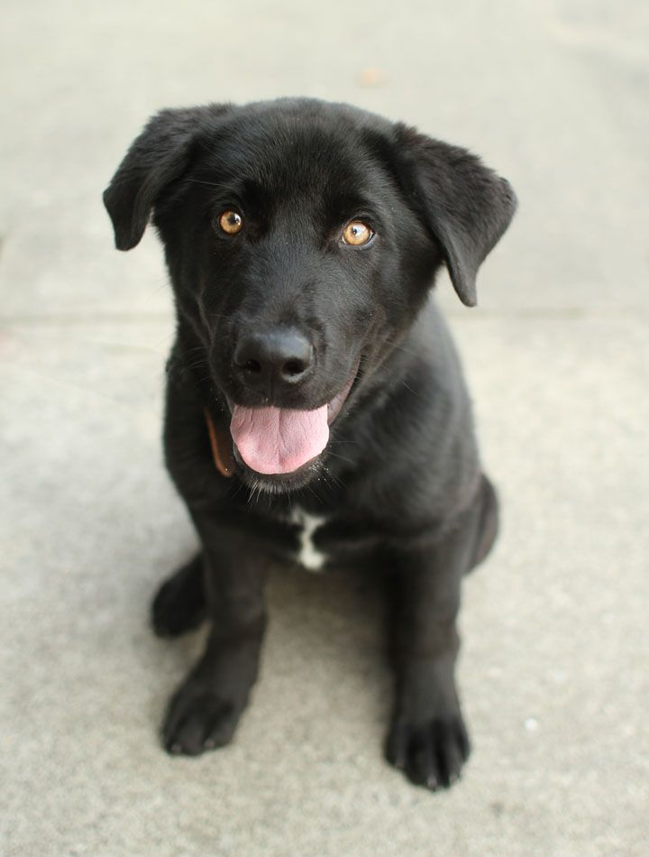 Corgi Black Lab Mix Corgi Mixes Lab Mix Puppies Pitbull Mix Puppies Golden Retriever Mix Puppies