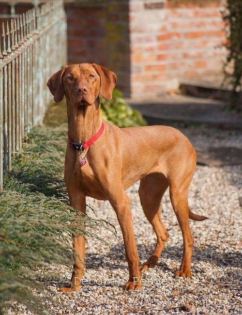 Vizslas Best Running Buddy Vizsla Dogs Vizsla Most Beautiful Dog Breeds