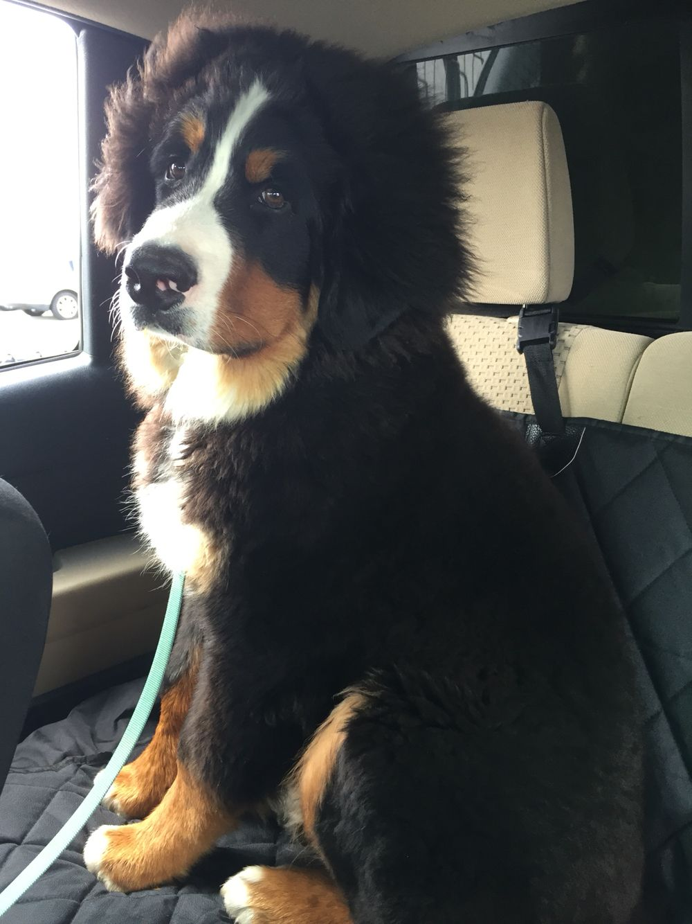 5 Month Old Bernese Mountain Dog Juju Honden