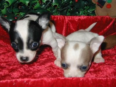 Apl Adoptable Dogs Charming Tiny Chihuahua Puppies For Adoption