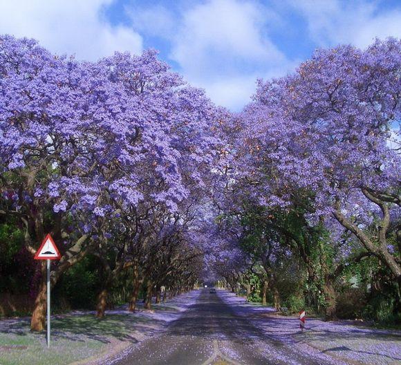 Jacarandas Walk, África do Sul