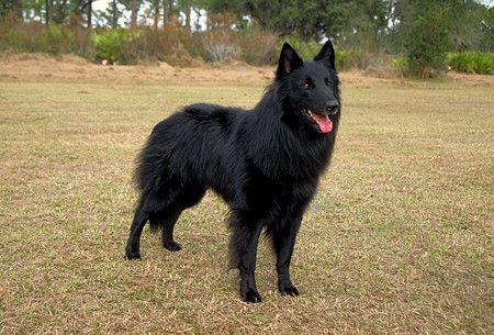 bELGIAN sHEEPDOG   Anjing