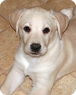 Rochester Ny Labrador Retriever Australian Shepherd Mix Meet Ripple A Puppy For Adoption Mascotas Labrador Retriever Labrador