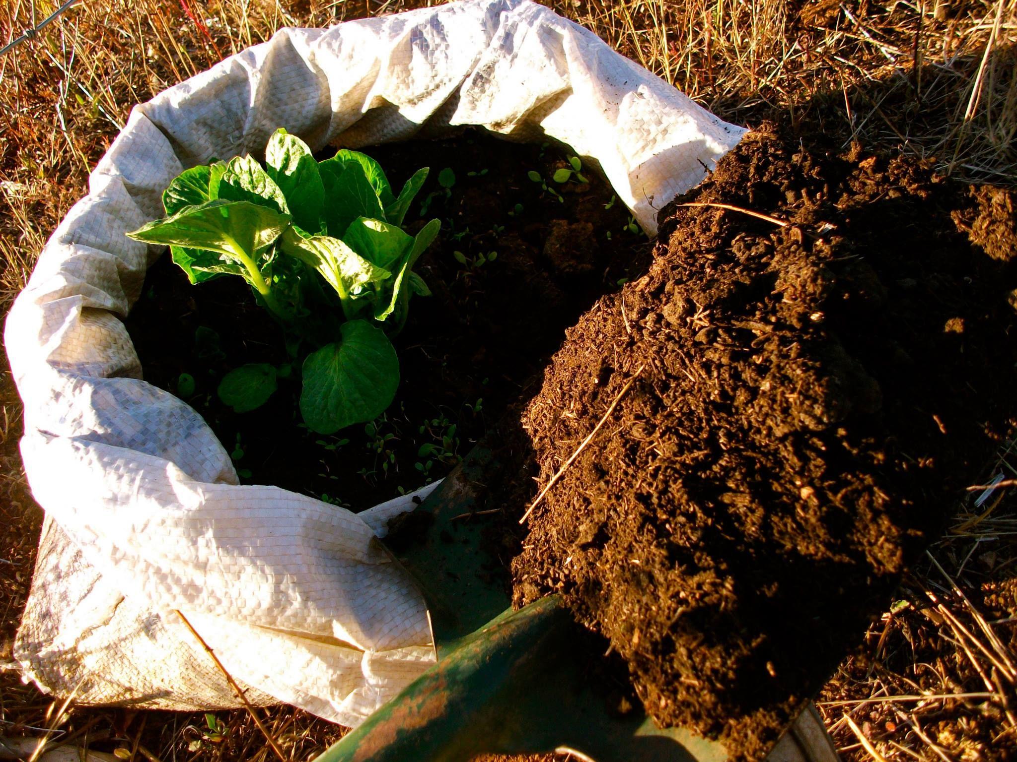 Resultado de imagen de cosecha de papas en sacos