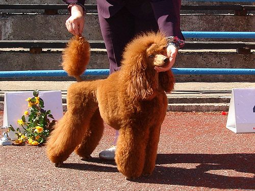 Dulce Firestorm Dominique Royal Amber - Poodles In Scandinavia