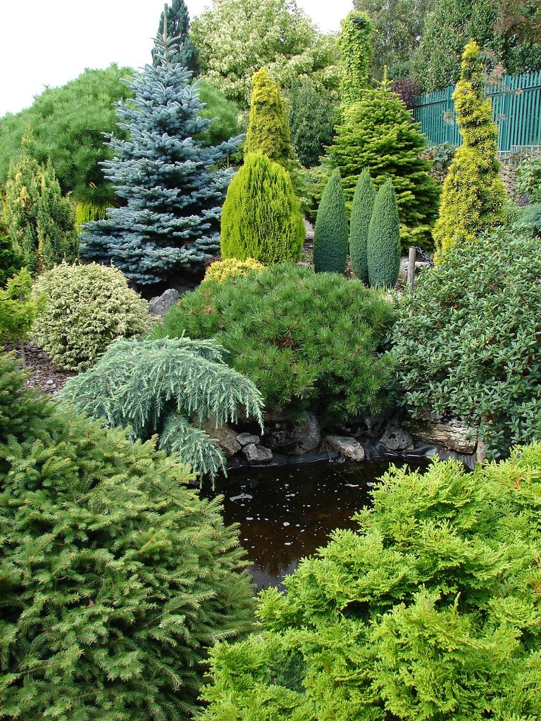dwarf conifers garden shrubs