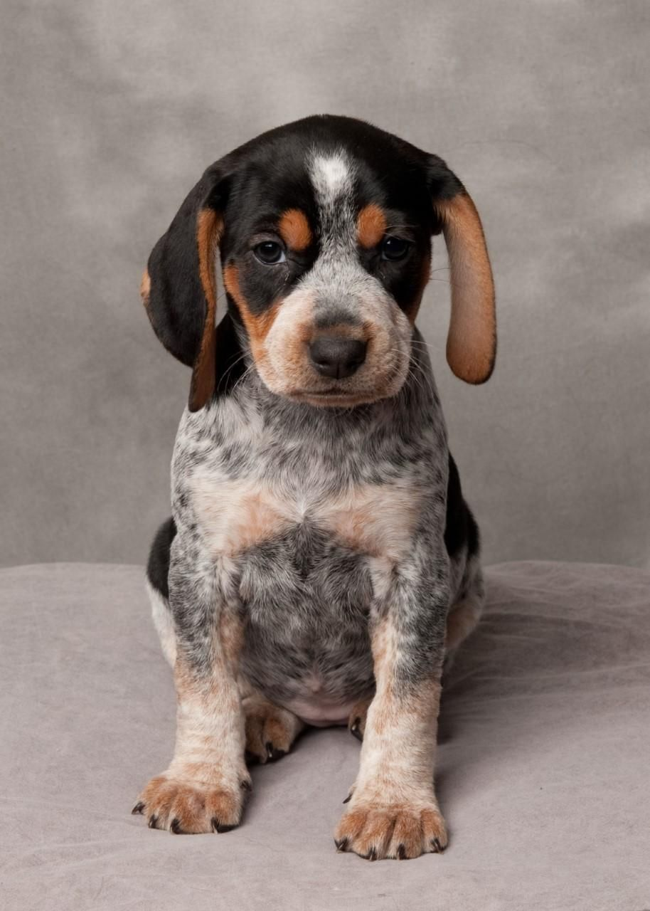 Adopt Everything Bagel On Blue Tick Beagle Cute Animals Dogs