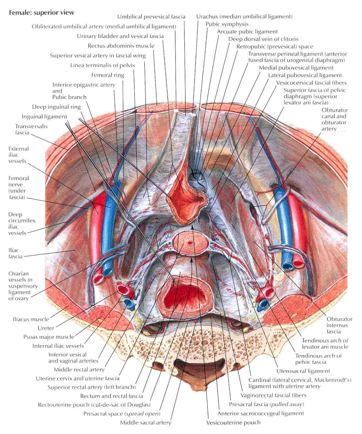 pubocervical fascia - Google Search   Medical issues   Pinterest