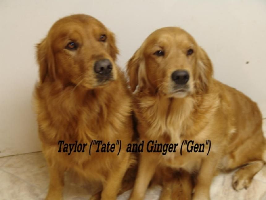Red Golden Retriever Puppies For Sale My Next Husband Lol