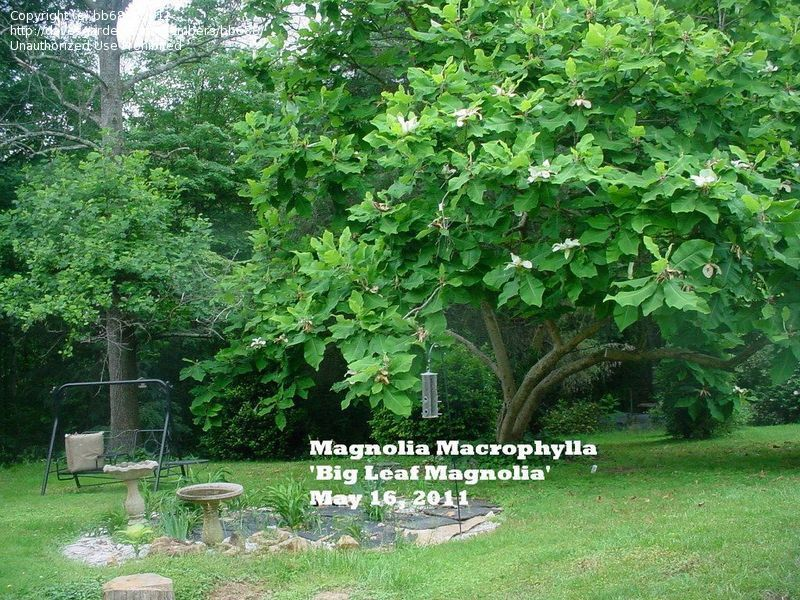 Bigleaf Magnolia Large Leaved Cucumber Tree Magnolia Macrophylla