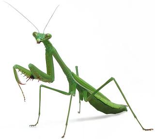 Australian Praying Mantises Minibeast Wildlife Praying Mantis Praying Mantis Symbolism Bugs And Insects