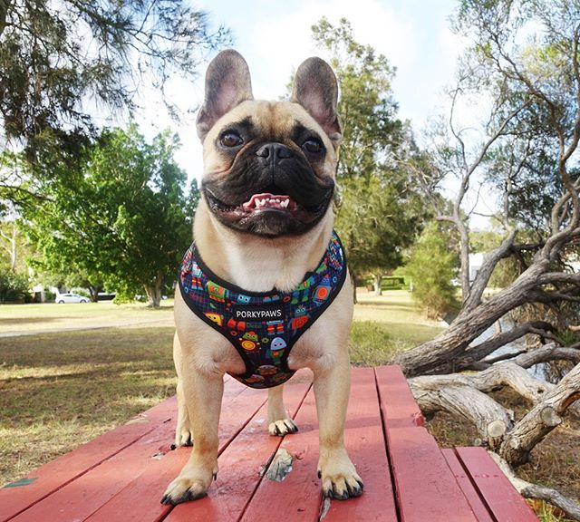 Hello Cutie! (With images) French bulldog harness, Dog