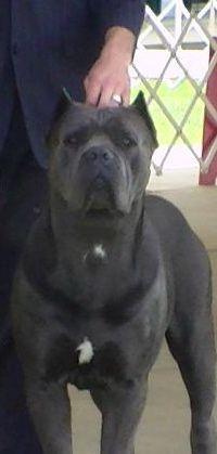 Pin By Juan Ortiz On Cane Corso Cane Corso Cane Corso Dog Dog Breeds