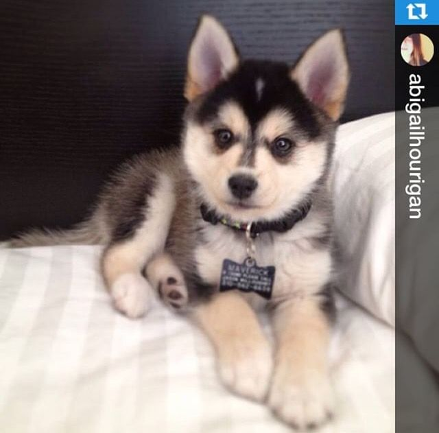A full grown pomsky named maverick Cute animals, Puppies