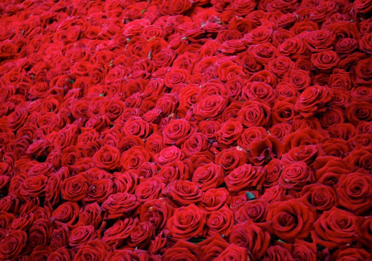 Обои розы, бутоны, mnogo. Цветы foto 8