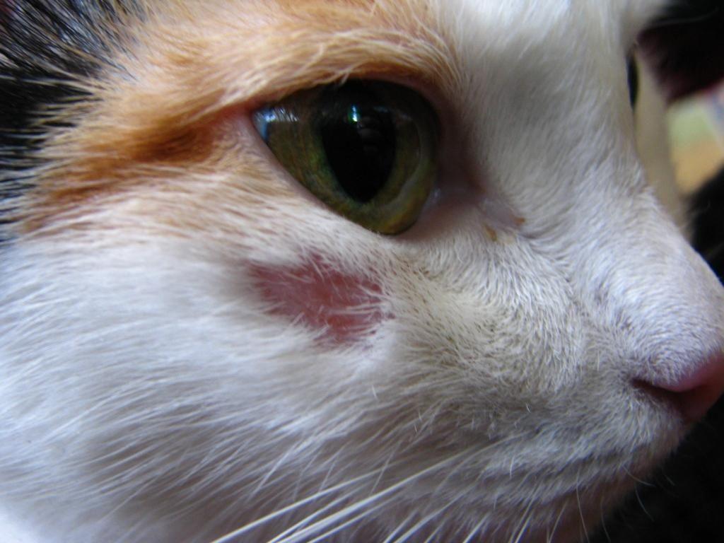Как выглядит лишай у кошек. Признаки и лечение стригущего ...