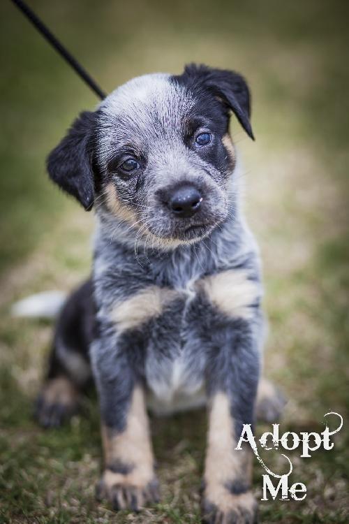 Meet Detroit A Petfinder Adoptable Australian Cattle Dog Blue Heeler Dog Mckinney Tx We Do Not Have A Faci Pets Kitten Adoption Puppy Adoption