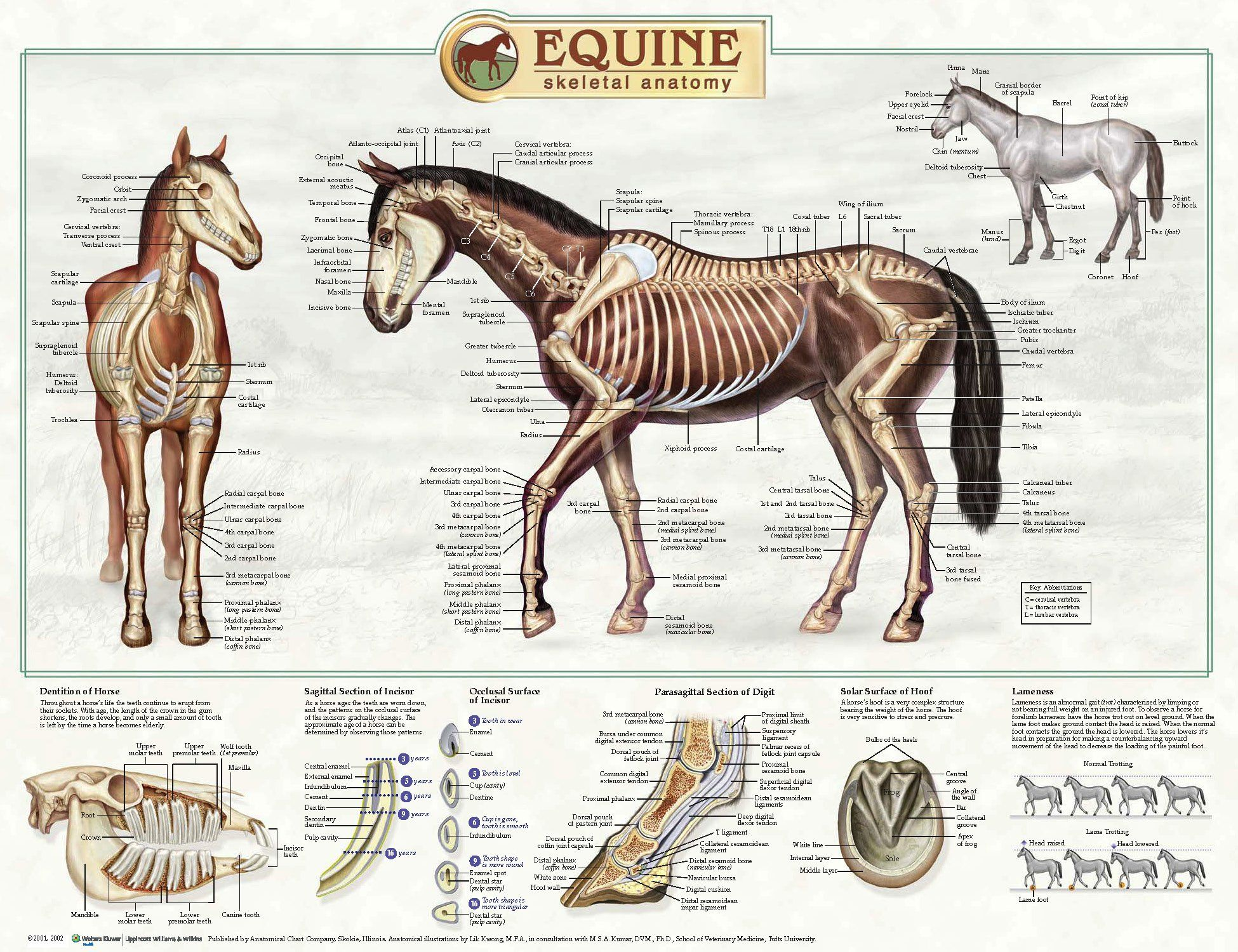 Equine Skeletal Anatomy Laminated Wallchart [Poster]: Amazon.co.uk ...