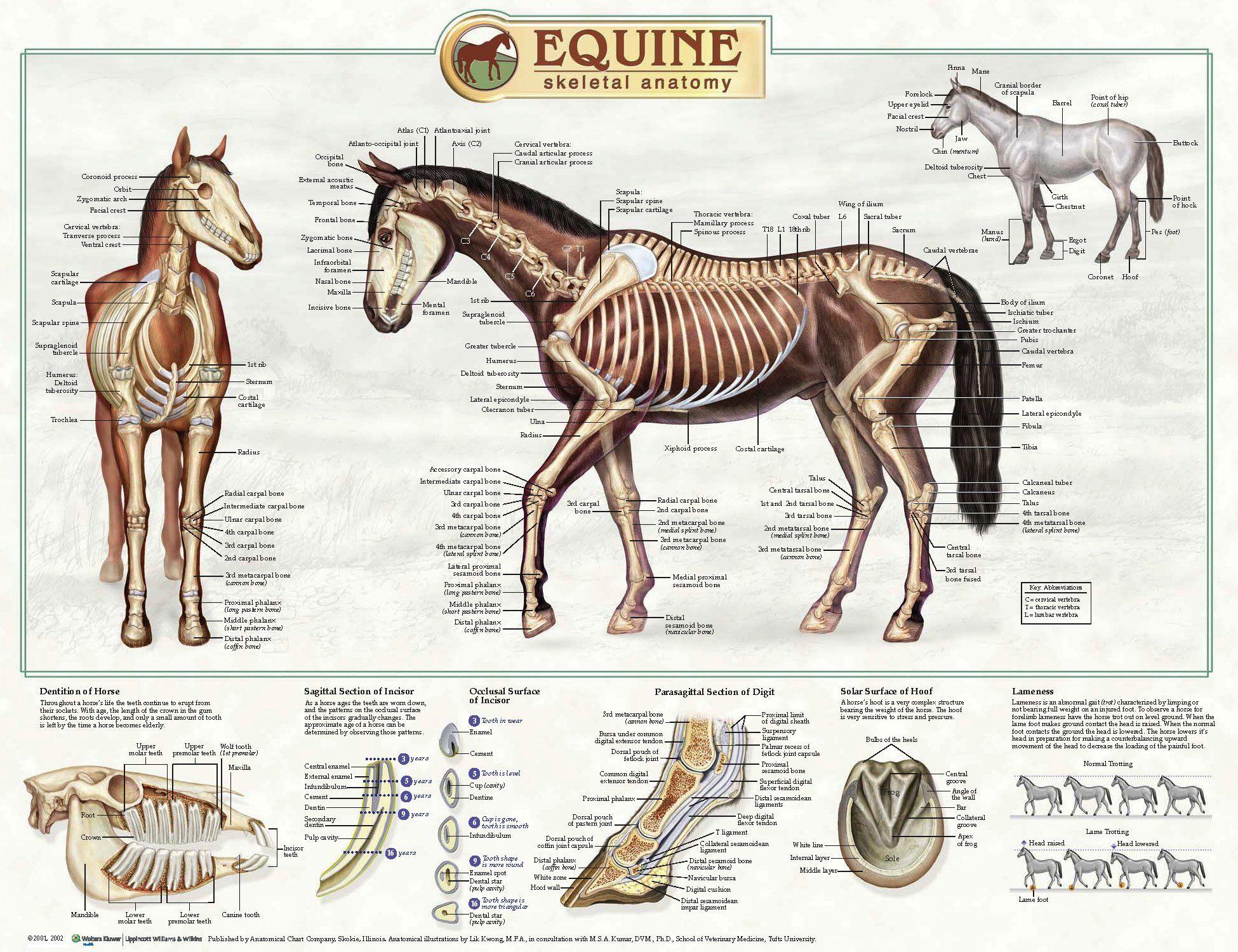 The anatomy coloring book uk - Equine Skeletal Anatomy Laminated Wallchart Poster Amazon Co Uk Lik