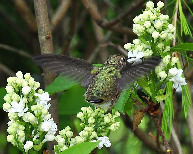 Feisty (With images) Hummingbird migration, Hummingbird