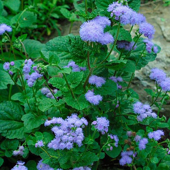 Ageratum Houstonianum Finegardening Mosquito Repelling Plants Trees To Plant Plants