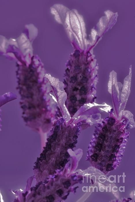 Lavandula stoechas, the essential oil smells strong and can be slightly toxic (with exaggerated use)