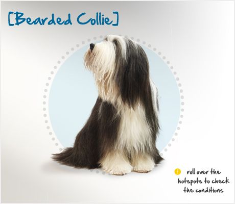 The Bearded Collie Or Beardie Is One Of Britain S Oldest Breeds