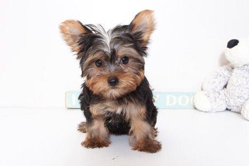 Yorkshire Terrier Puppy For Sale In Naples Fl Adn 37120 On Puppyfinder Com Gender Male Age 11 Weeks Old Puppies Yorkshire Terrier Yorkie Puppy