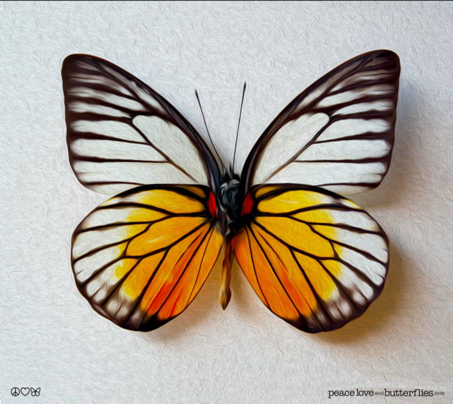 Black Lines Golden Orange, Colorful Butterfly, Bright ...
