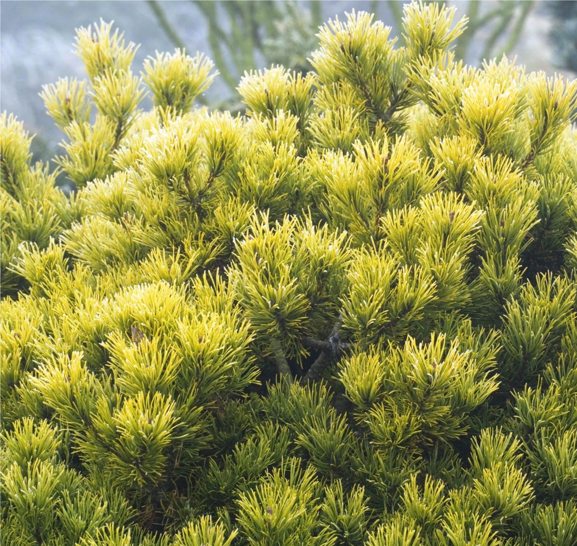 Carsten's Wintergold Mugo Pine Plant Library Pahl's