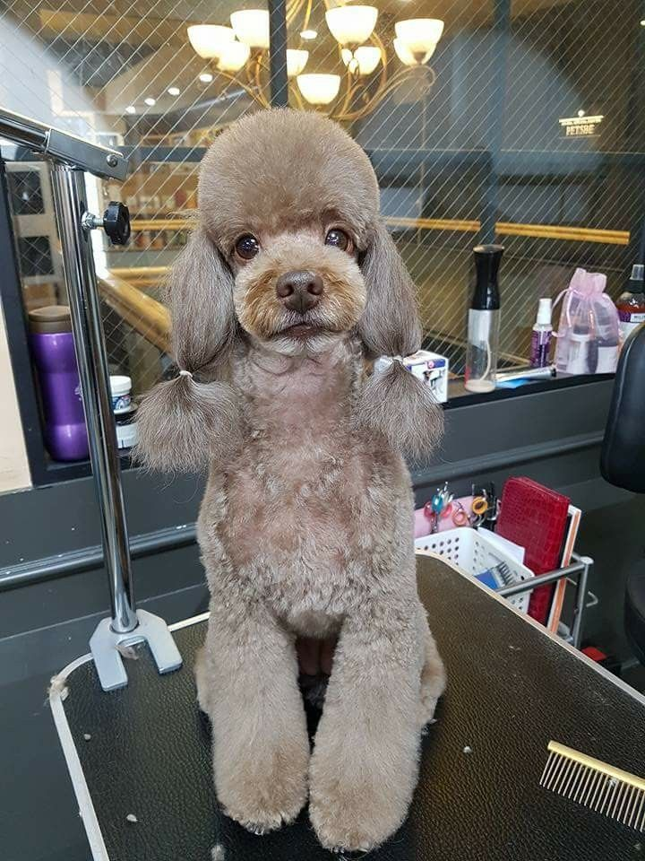 Poodle Dog Grooming Pinterest Poodle Dog And Poodle Grooming