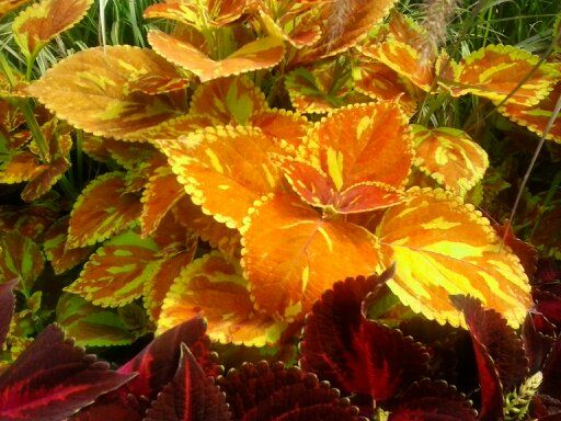 That is one gorgeous coleus