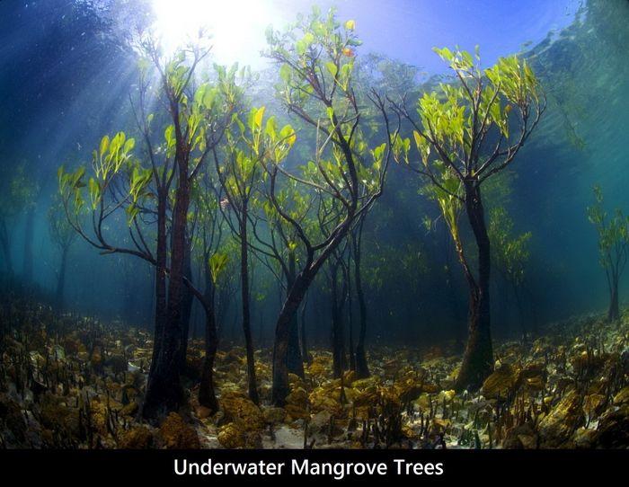 Underwater mangrove trees