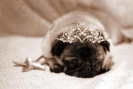 Pug fairy - Like the tooth fairy, but if you leave a piece of food under the table, she will take it and leave behind crumbs.