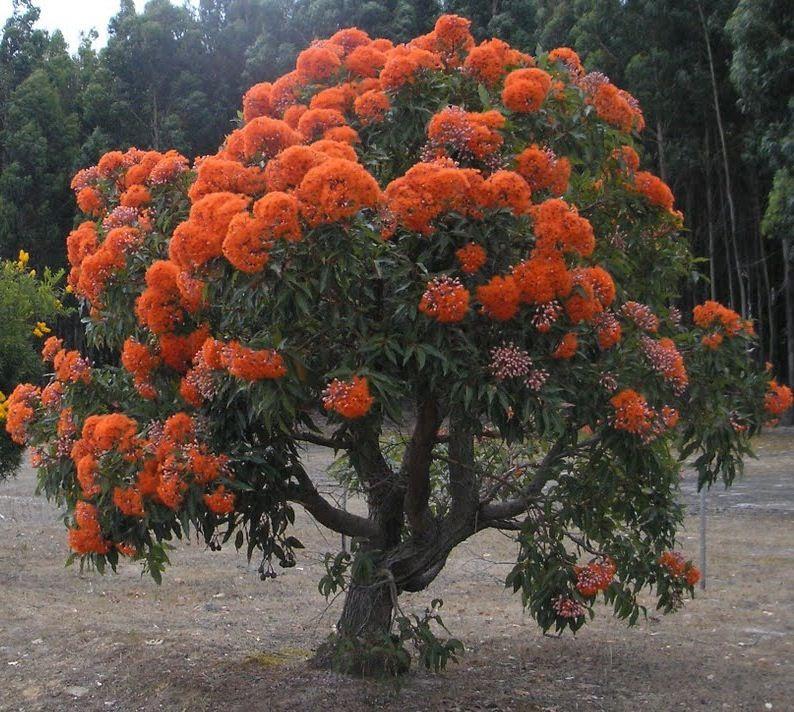 Orange Flowering Gum Tree Flowering trees, Trees to
